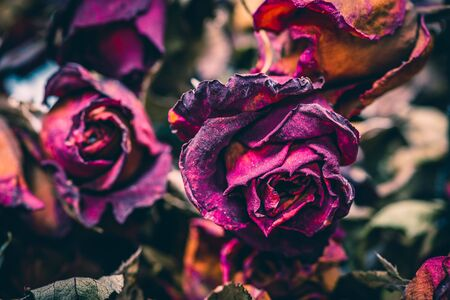Close up of withered roses, abstract background