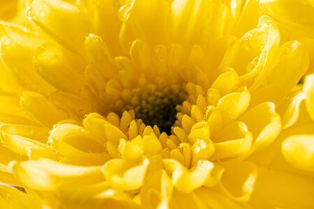 close up of yellow chrysanthemum flower