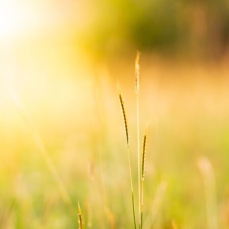 Close up of grass flowers abstract bokeh background in golden hour
