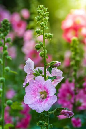 Close up of Alcea rosea (hollyhock) in the garden
