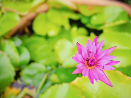 Beautiful lotus with Green leaf in the water pond,rich colors of the deep blue water surface. Stock Photo