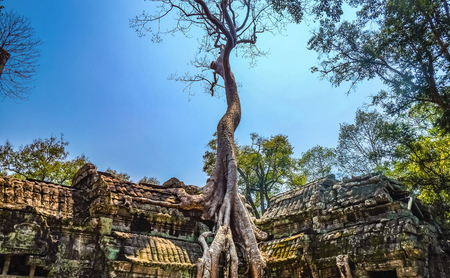 Giant Tree with blue sky in ta phom temple siem reap cambodia,wonder of the world