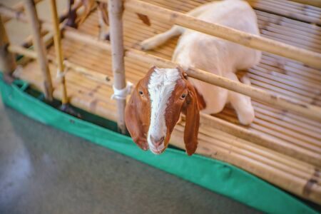 Cute Goat Waiting for milk in Pattaya Floating Market in Chonburi City Thailand.Pattaya Floating Market is the Famous Floating Market near Pattaya and very Popular for Tourist