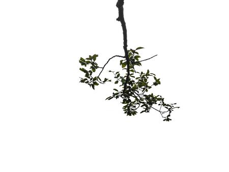 Tree branch on isolated background