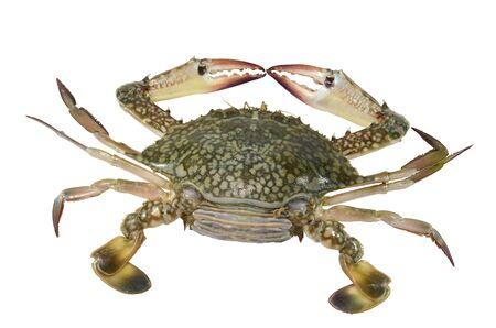 blue crab: blue swimming crab (female) Stock Photo