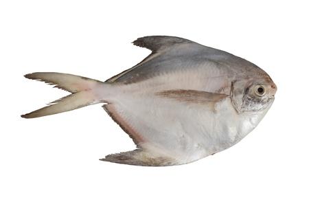 Plata Pomfret pescado en el fondo blanco