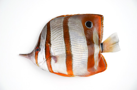 Chaetodontidae, Butterflyfish, Bannerfish, Coralfish isolate on white background Stock Photo