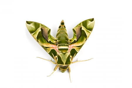 sphingidae: Moth, green color solate on white background Stock Photo