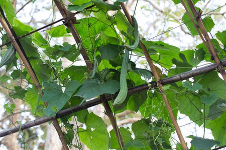 ridged: close up the  fresh  green Luffa cylindrica on the   tree , Fresh ridge gourd on the tree