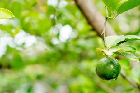 Green limes on a tree. Lime is a hybrid citrus fruit, which is typically round  containing acidic juice vesicles. Limes are excellent source of vitamin C. with copy space