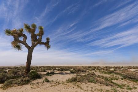 A Joshua Tree en El Mirage Dry Lake Foto de archivo