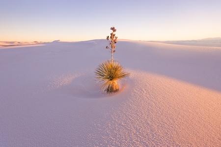 Yucca en el White Sands National Monument Foto de archivo
