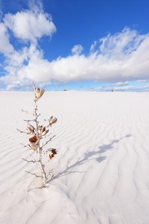 white sands national monument: Dried Yucca at White Sands National Monument Stock Photo