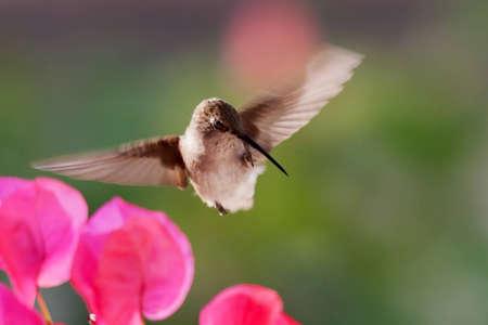 Hummingbird rascarse el pico Foto de archivo