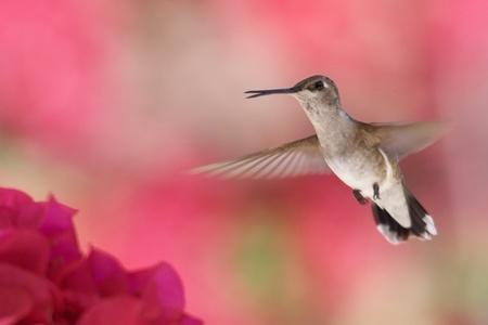 Colibr� en vuelo