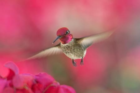 Hummingbird in flight Standard-Bild