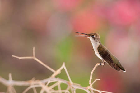 Young Hummingbird on branch Stock Photo