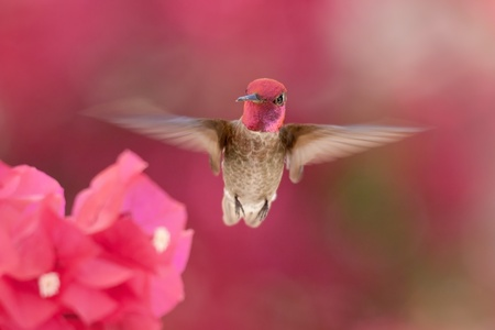 Hummingbird in flight photo