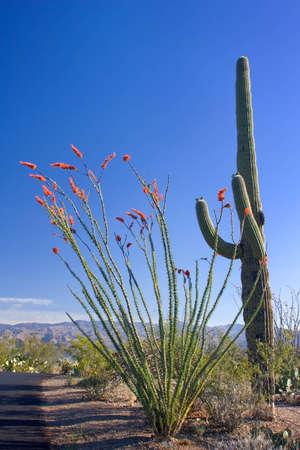 ocotillo: Saguaro and Ocotillo Cactus Stock Photo
