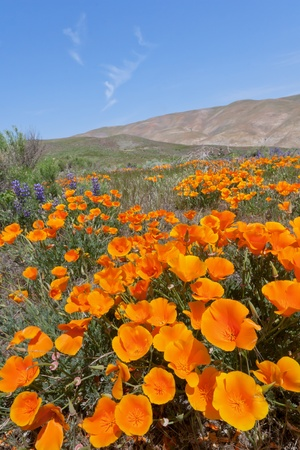 wildflower in Gorman Imagens