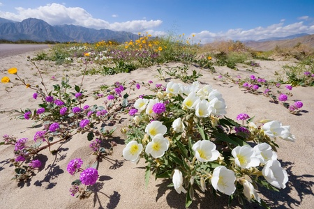 Wildflower in Anza Borrego SP photo