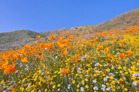 Southern California Wildflower Imagens - 12430370