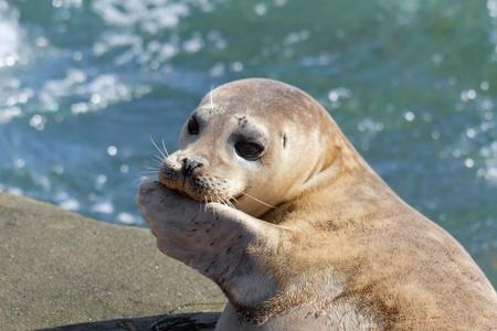 Seal Puppy  in La Jolla
