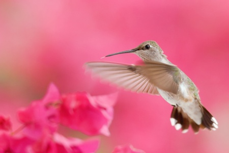 Hummingbird in flight 版權商用圖片