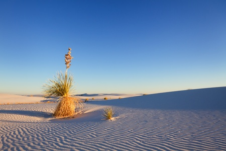 new mexico: Yucca at Sunset, White Sands National Monument Stock Photo