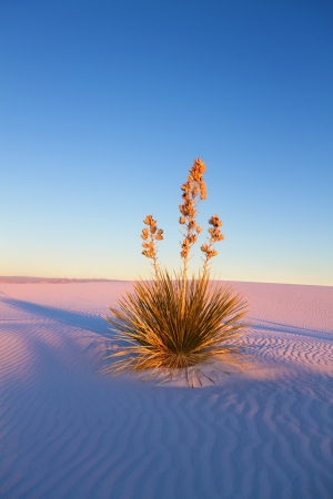 white sands national monument: Yucca at Sunset, White Sands National Monument Stock Photo