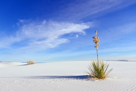 chihuahua desert: Yucca at White Sands National Monument Stock Photo