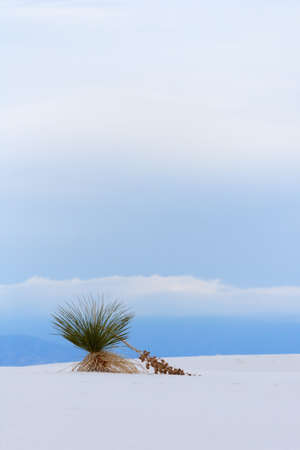 chihuahua desert: Yucca at White Sands