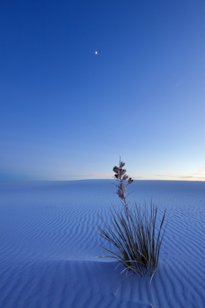 new mexico: Yucca after Sunset, White Sands National Monument Stock Photo