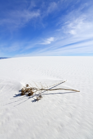 chihuahua desert: Dried Yucca at White Sands