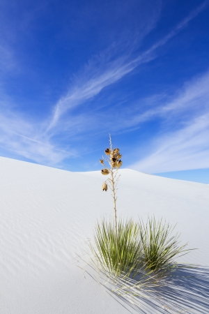 chihuahua desert: Yucca at white Sands National Monument