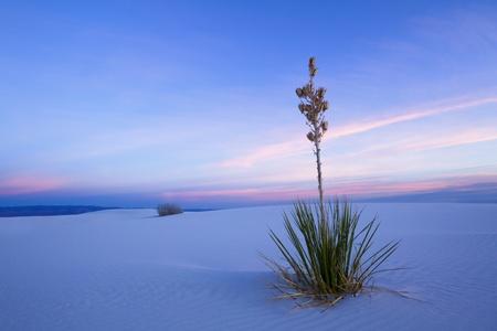 chihuahua desert: Yucca in Twilight