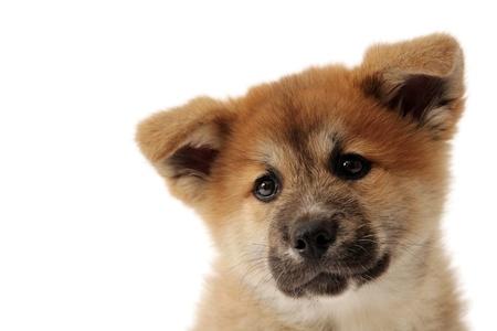 Akita Inu cachorro Foto de archivo