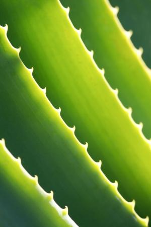 agave: Aloe Vera Close-up