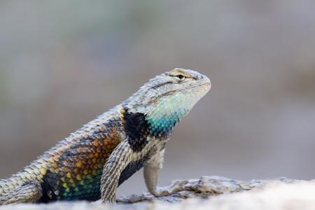 spiny: Desert Spiny Lizard Stock Photo