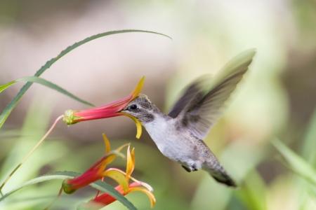 hovering: Hummingbird