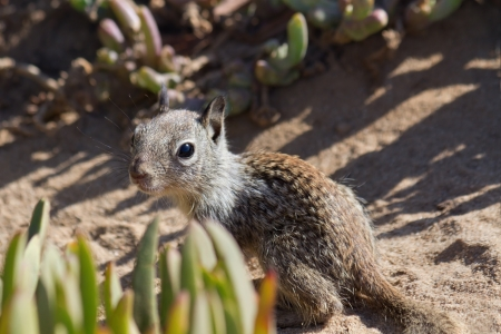 anima: Cute baby squirrel looking curiously, La Jolla, CA. Stock Photo