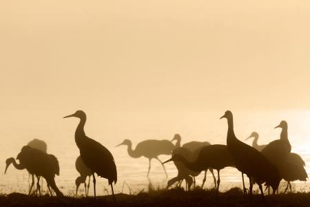 Sandhill cranes in morning mist, Bosque del Apache National Wildlife Refuge, NM Stock Photo