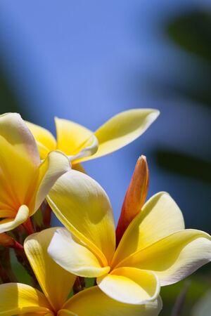 Yellow Plumeria Flower in Bloom