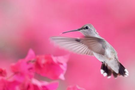 Hummingbird flying to Bougainvillea flower