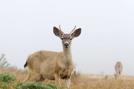 curiously: Young White-tailed deer looking curiously in foggy day, mother grazing in the back, Point Reyes National Seashore, CA