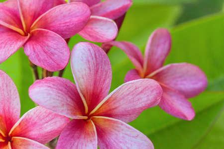 Hermoso Pink Plumeria florece en verano.