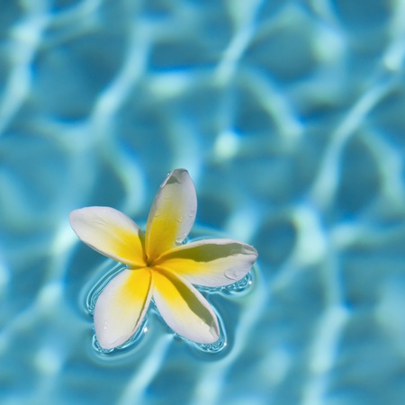 White-Yellow Plumeria floating in the pool.