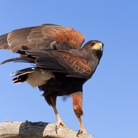 Harris Hawk landing on a branch  photo