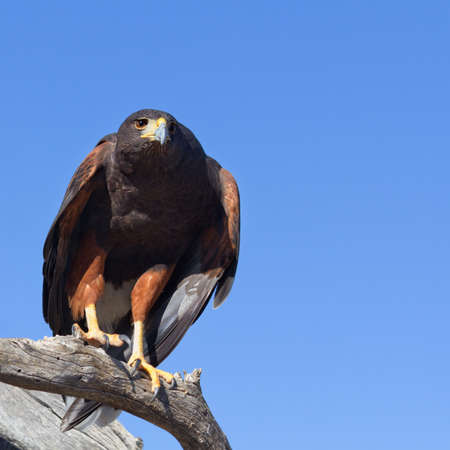 Harris Hawk perching on a branch  photo