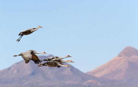sandhill crane: Sandhill crane family - parents and three juvenile flying together over Wilcox playa, AZ  Stock Photo